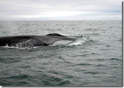 A giant fin whale cruises alongside the boat for a closer look.