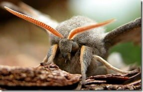 Poplar Hawk Moth (Laothoe populiis): an alternative view