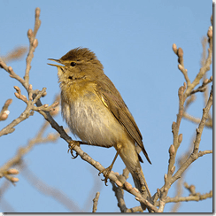 Williow warbler in full song