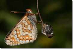 Rare Marsh Fritillary to be surveyed nationwide