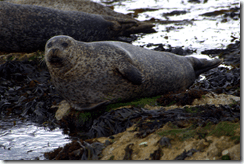 Common seal (Phoca vitulina) on Rathlin Island, Co. Antrim