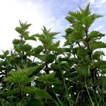 The stinging nettle -- make room for this wonderful native plant in your wildlife garden
