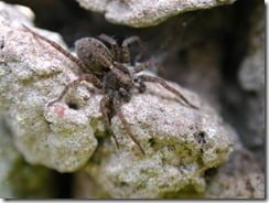 A wolf spider (Pardosa sp.) lies in wait on a garden wall for passing insects.