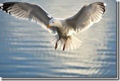 Herring Gull (Larus argentatus) in flight