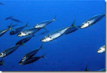 Atlanic Mackerel (Scomber scombrus) (image via fishbase)