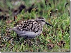Least Sandpiper in County Kerry... just a bird!