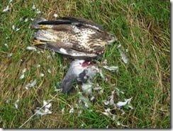 Poisoned buzzard (image via Birdwatch Ireland)