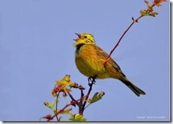 Yellowhammer (Emberiza citrinella) -- lowest numbers ever recorded in Ireland (photo by Rónán McLaughlin)