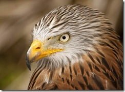 Red Kites found dead in Co. Dublin