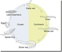 Eel Life Cycle