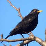 Blackbird_Turdus_merula
