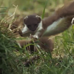 "Stoat leaping on the BBC ""Nature: Behind the scenes"" video."