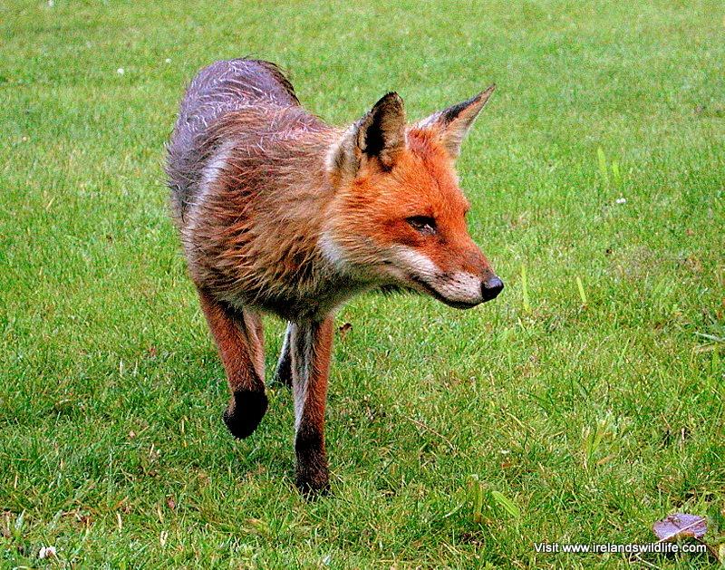 Red fox visiting a garden