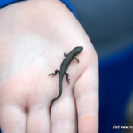 Young common lizard on a child's hand at Galley Head, West Cork