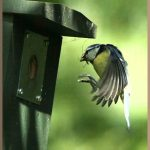 Blue tit approaching a nest box
