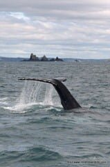 Humpback whale HBIRL20 in front of The Stags, West Cork