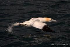 Gannet taking flight
