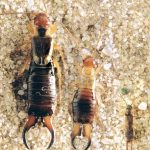 Ireland''s three earwig species (Photo: Malcolm Lee)