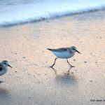 Sanderlings, Long Strand
