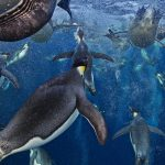 Bubble Jetting Emperors by Paul Nicklen -- overall winner in the Wildlife Photographer of the Year competition 2012