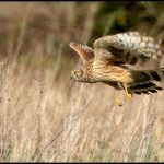 Irish Hen Harrier Shot in Co. Kerry