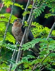 Sparrowhawk -- wrongly blamed for the decline in small bird numbers