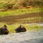 American Black Duck Ireland