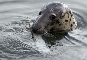 Grey Seal by Leon van der Noll