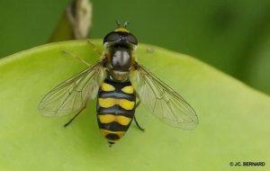 Hoverfly Eupeodes latifasciatus