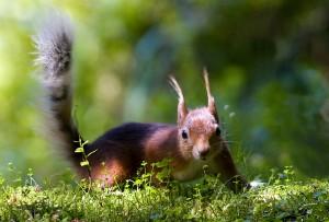 Irish Red Squirrel