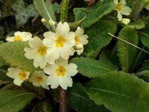 Primroses brighten up Irish hedgerows in April