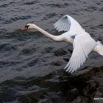 32 Mute Swans found dead in Donegal