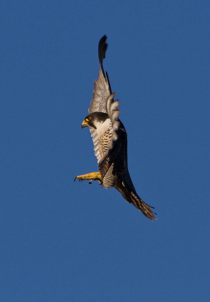 Peregrine Falcon by  Neil O'Reilly via Flickr