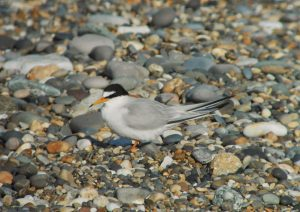 Little Tern at Kilcoole