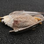 Female peregrine found dead in Tipperary