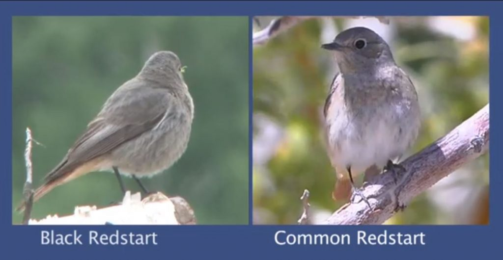Redstart Identification video from the BTO