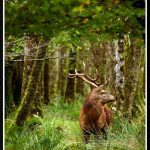 Watching deer in Ireland takes patience and practice