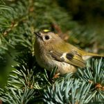 Goldcrest, Ireland's smallest bird