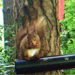 Red Squirrel in Co. Waterford, Ireland