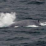 Blue whale Ireland