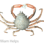 Study of Spider Crab by William Helps