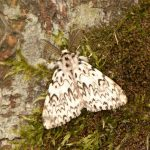Black Arches Moth rediscovered