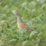 Corncrake in Ireland