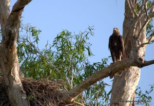 A young white-bellied sea-eagle on Corroboree Billabong Wetland Cruise