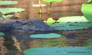 Saltwater crocodile Corroboree Wetlands