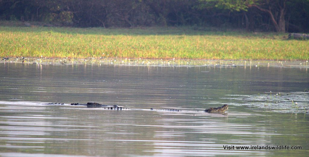 Croc courtship -- salties getting frisky at Yellow Water