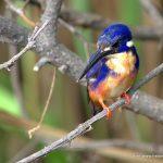 Azure Kingfisher, NT Australia