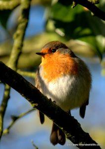 Robin -- feeding garden birds