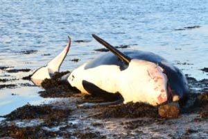 Stranded Killer Whale Ireland