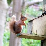 Red Squirrel Ireland